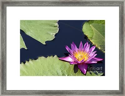 Purple Waterlilly Framed Print