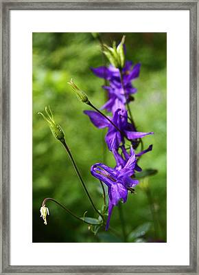 Purple Wildflower At Bernese Oberland Switzerland Framed Print by Jetson Nguyen