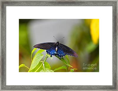 Purple Wings Framed Print by Jay Nodianos
