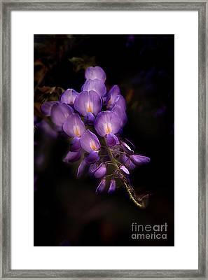 Purple Wisteria Framed Print