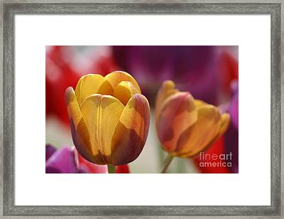 Purpleyellowtulips7016 Framed Print by Gary Gingrich Galleries
