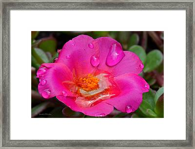 Purslane Flower In The Rain Framed Print by Sandi OReilly