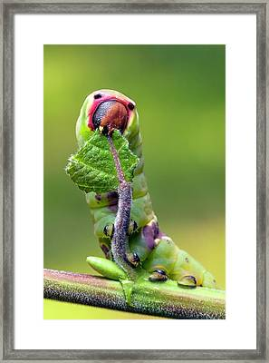 Puss Moth Caterpillar Framed Print by Alex Hyde