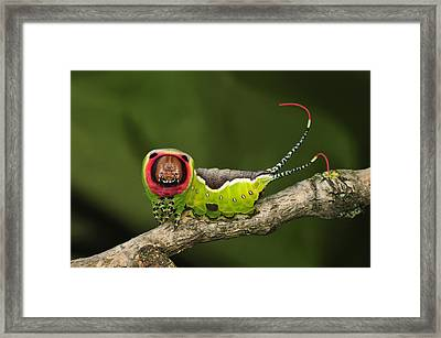 Puss Moth Caterpillar Switzerland Framed Print by Thomas Marent