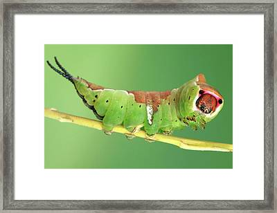 Puss Moth Caterpillar Framed Print by Tomasz Litwin