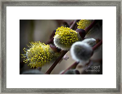 Pussy Willow 5 Framed Print by Joel Loftus