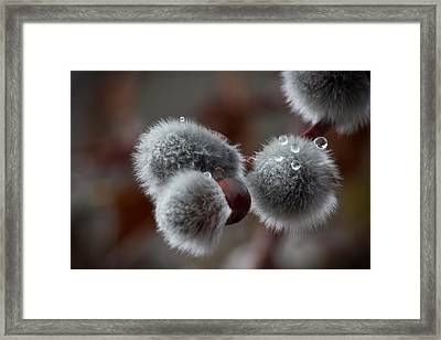 Pussy Willow Framed Print by Joel Loftus