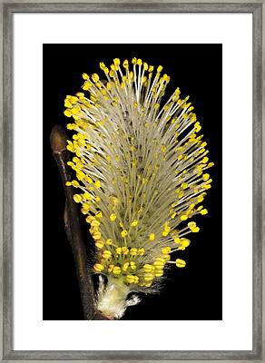 Pussy Willow Stamens Framed Print