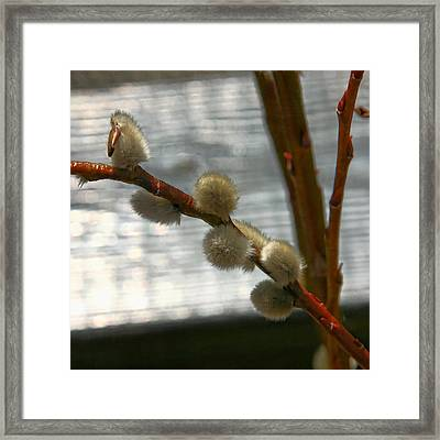 Pussy Willows In The Spring Framed Print