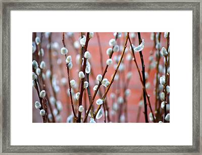 Pussy Willows Framed Print by Ira Shander