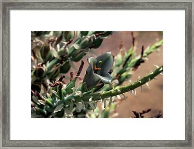 Puya Sp. Bromeliad Flower Framed Print