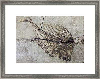 Pycnodus Framed Print by Dirk Wiersma
