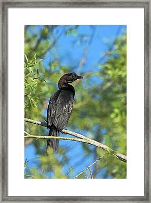 Pygmy Cormorant (phalacrocorax Pygmeus Framed Print by Martin Zwick
