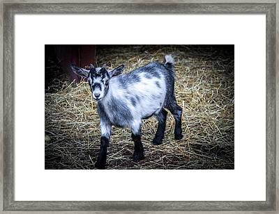 Pygmy Goat Framed Print by Anthony Thomas