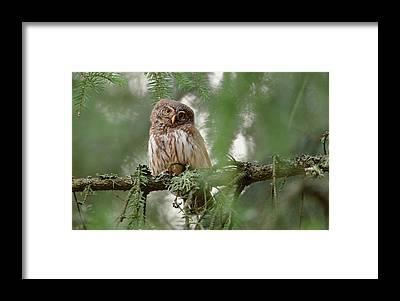 Pygmy Owl Framed Prints