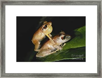 Pygmy Rain Frogs Framed Print