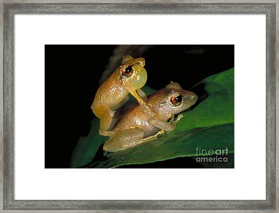 Pygmy Rain Frogs Mating Framed Print