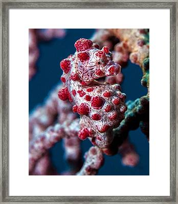 Pygmy Sea Horse Framed Print by Terry Cosgrave