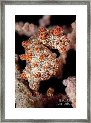 Pygmy Seahorse On Sea Fan, Lembeh Framed Print by Steve Jones