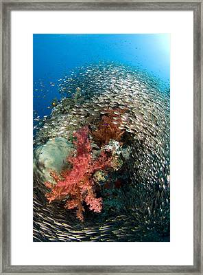 Pygmy Sweeper School Red Sea Egypt Framed Print
