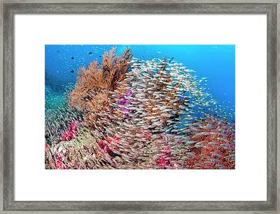 Pygmy Sweepers And Gorgonian Sea Fans Framed Print