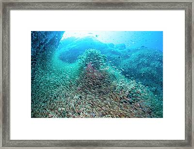 Pygmy Sweepers Over A Coral Reef Framed Print by Georgette Douwma
