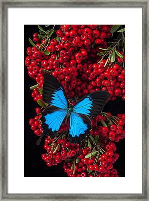 Pyracantha And Butterfly Framed Print by Garry Gay