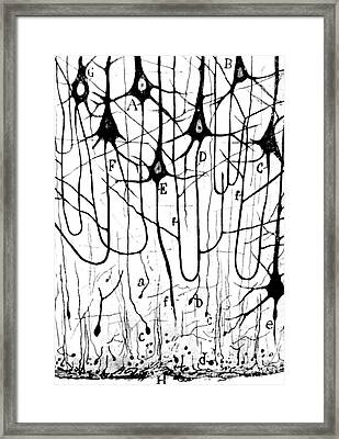 Pyramidal Cells Illustrated By Cajal Framed Print by Science Source