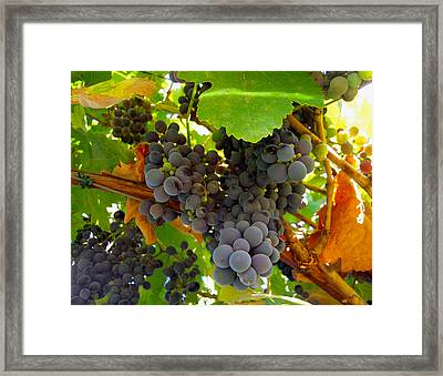 Pyrenees Winery Grapes Framed Print by Michele Avanti