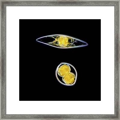 Pyrocystis Lunula Dinoflagellate Framed Print by Gerd Guenther