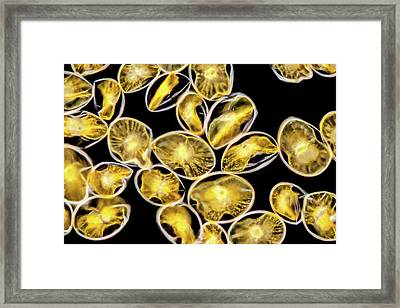 Pyrocystis Noctiluca Dinoflagellate Framed Print by Gerd Guenther