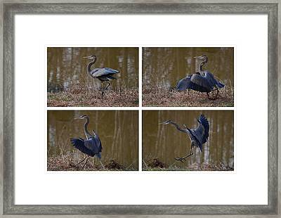 Quadriptych Landing Heron - 9529d Framed Print by Paul Lyndon Phillips