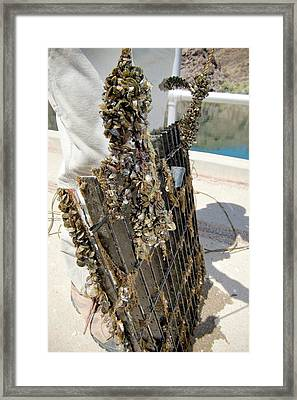 Quagga Mussels Framed Print by Us Bureau Of Reclamation/andy Pernick