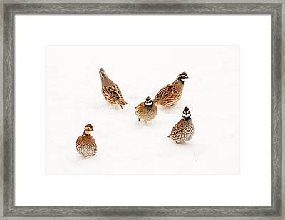 Quail Guard Duty Framed Print