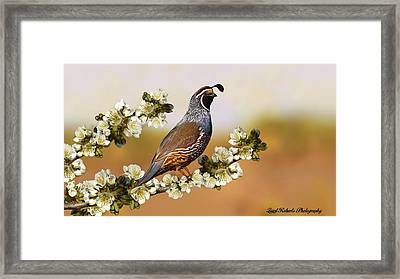 Quail In Cherry Tree Framed Print by Laird Roberts