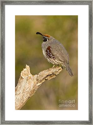 Quail On A Stick Framed Print by Bryan Keil