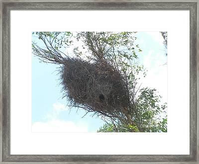 Quaker Parrot Nest In Tree Framed Print