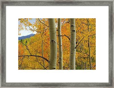 Quaking Aspen In Full Color, Populus Framed Print