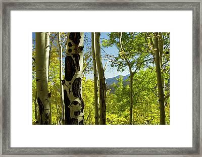 Quaking Aspen In Full Color Showing Framed Print