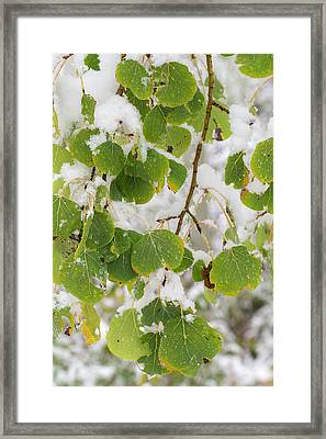 Quaking Aspen Leaves, First Snow Framed Print by Maresa Pryor