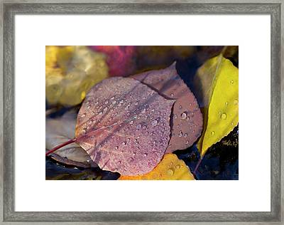 Quaking Aspen Leaves In The South Ponil Framed Print by Maresa Pryor