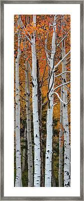 Quaking Aspen Populus Tremuloides Framed Print