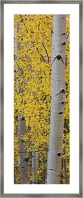 Quaking Aspen Populus Tremuloides Tree Framed Print by Panoramic Images
