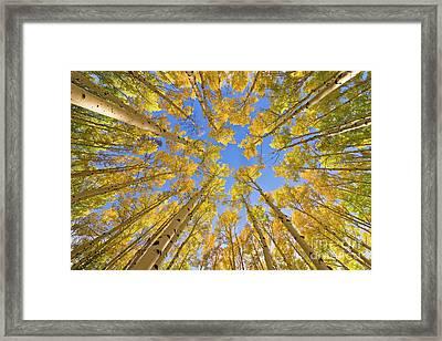 Quaking Aspens In Autumn  Framed Print by Yva Momatiuk John Eastcott