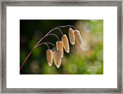 Quaking Grasses - Briza Media 3 Framed Print by Susie Peek