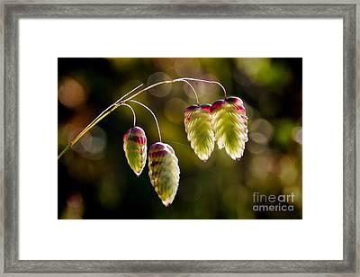 Quaking Grasses - Briza Media Framed Print by Susie Peek