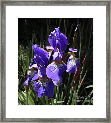 Quebec Provincial Flower Framed Print by Barbara McMahon