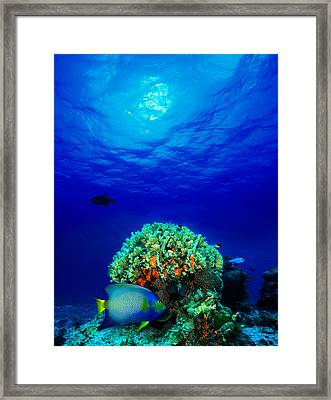 Queen Angelfish Holacanthus Ciliaris Framed Print by Panoramic Images