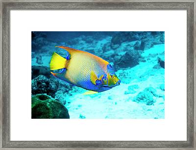 Queen Angelfish On A Reef Framed Print by Georgette Douwma