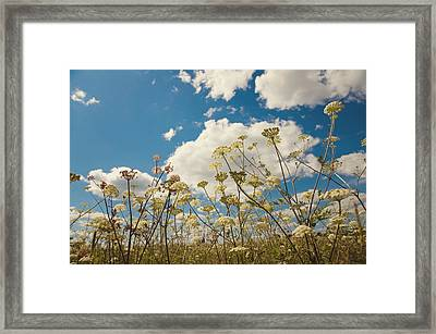 Queen Anne Lace And Sky Framed Print by Jenny Rainbow